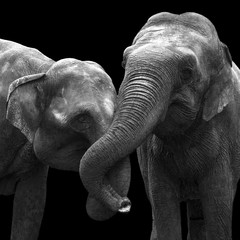 Two elephants in love together isolated on a black background