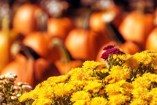 Colorful yellow Mum or Chrysanthemum flowers for sale at a pumpkin patch. Pumpkins in the background.