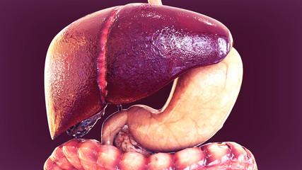 3d illustration of human organs anatomy
