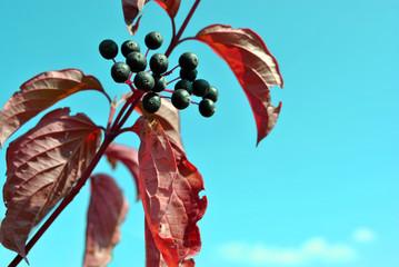 Frangula alnus (alder buckthorn, glossy buckthorn, breaking buckthorn) branch with black berries and red leaves on the blue sky background