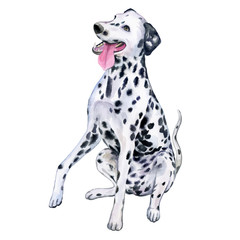 Watercolor close-up portrait of a large Dalmatian dog breed, isolated on a white background. A large short-haired stroller from Croatia. Hand painted cute domestic pet. Design of a greeting card. Clip