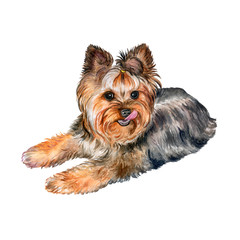 Dog Yorkshire Terrier Isolated on a White Background. Watercolor. Illustration