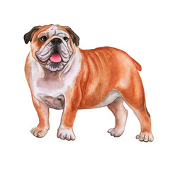 English Bulldog dog isolated on white background. Watercolor. Illustration