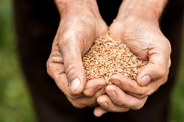 Old man holding a wheat grains in his hands.The farmer is holding a lot of  wheat grains seeds