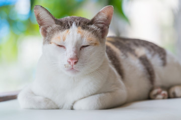 Striped with white a cat