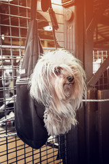 Beautiful little long-haired dog hanging in a dark bag in the shop waiting for the master on a Sunny day.