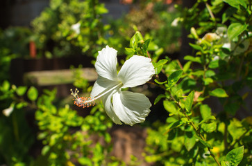 White hibiscus flower with gentle petals. Exotic flower on green bush.