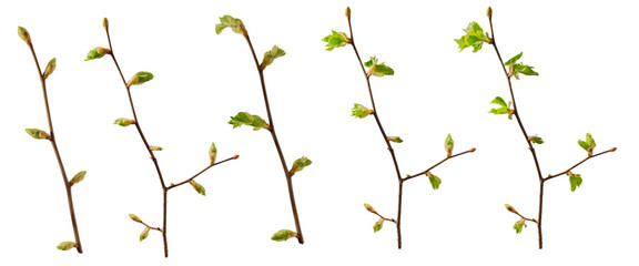 A set of blooming tree branches with opening leaves buds with clipping path, isolated on white background, perfect for matte painting