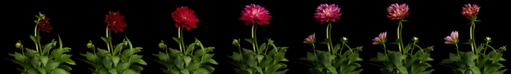 Time lapse series of pink Dahlia flowers blooming. Studio shot over black.