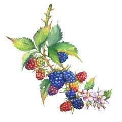 A branch with blackberry fruit, white flowers and leaves (Rubus genus, black berries) realistic botanical illustration. Watercolor hand drawn painting illustration, isolated on white background.