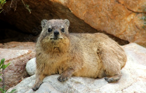 a full length shot of a hyrax laying on a rock facing the camera
