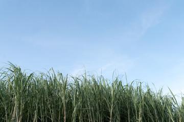 サトウキビ畑