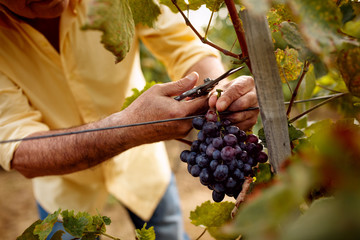 close-up man picking red wine grapes on vine.