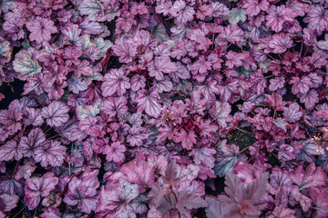 Top view of heuchera plants. Carved bright leaves of Heuchera in a garden. Purple foliage background