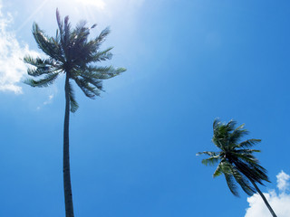 Tall palm tree silhouette on blue sky. Palm tree crown with green leaf on sunny sky background.