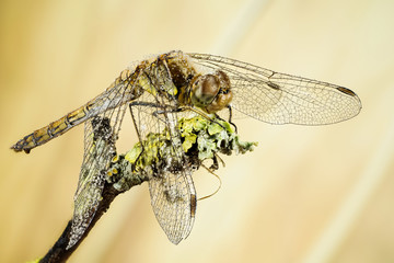Focus Stacking - Vagrant Darter, Dragonfly, Sympetrum vulgatum