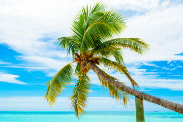 Palm trees with branches of coconut on the background of bright cloudless blue sky