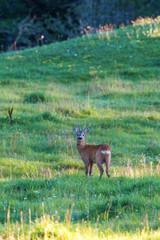 Roebuck on a meadow in summer