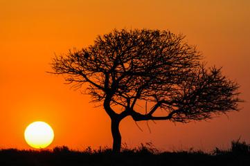 Sonnenuntergang mit Schirmakazie (Acacia tortilis) in Südafrika
