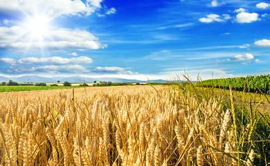Milder Spätsommer in der Pfalz: Weizenfelder, Ernte, Getreide, blauer Himmel, Wolken :) Fotoväggar