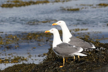 Lesser Black-backed Gull, Larus fuscus, birds of Iceland