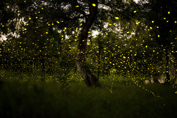 firefly in forest