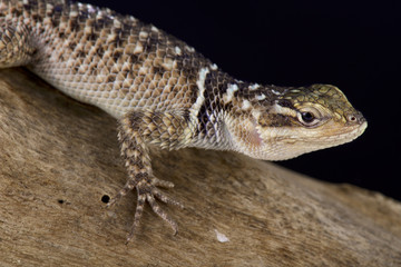 Blue spiny lizard, Sceloporus serrifer cyanogenys