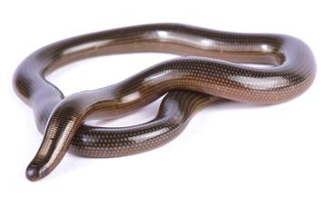 Wall Mural - Lineolate blind snake, Afrotyphlopinae lineolatus