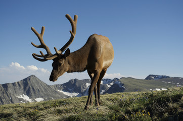 Young bull elk along trail ridge road in Rocky Mountain National Park, Colorado.