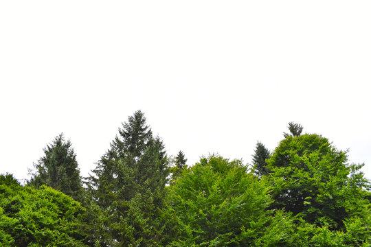 Green forest skyline against white background