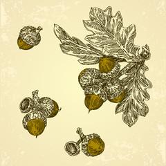 Set of acorns and leaf oak. Vintage style. Vector illustration.