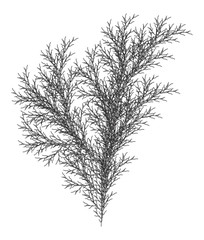 Flat Vector Computer Generated  L-system Branching Fractal  - Isolated Seaweed - Generative Art
