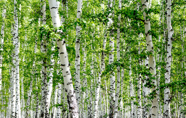 Poster de jardin Bosquet de bouleaux White birch trees in the forest in summer