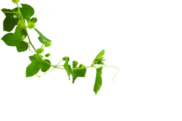 Green ivy and white flowers isolated on white background.