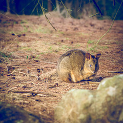 Tasmanian Pademelon - Cataract Gorge - Launceston, Tasmania, Australia