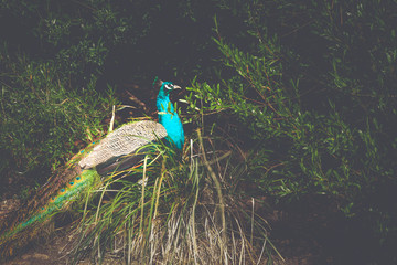 Peacock - Cataract Gorge - Launceston, Tasmania, Australia