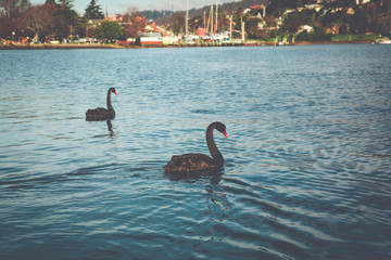 Black Swans - River Tamar - Launceston, Tasmania, Australia