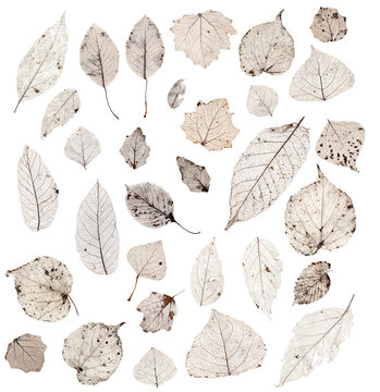 Herbarium - Collection of Leaf Structure Skeletons with Veins