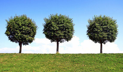 Three trees on a hill with a round green crown against a blue sky on a summer day.