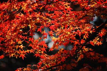 日本の紅葉2