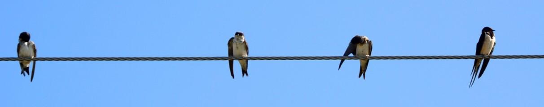 Barn swallows, Zagyvarekas, Hungary