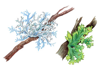 Lichens on the branches of trees, watercolor drawing on a white background with clipping path.