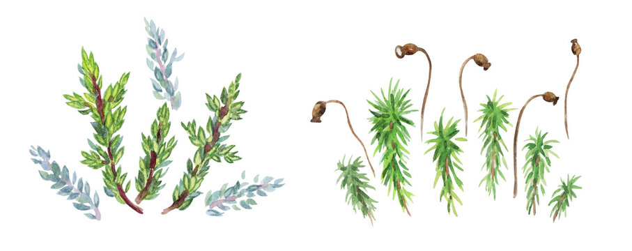 Set of mosses, watercolor pattern on a white background with clipping path.