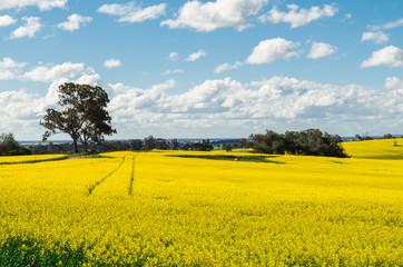 Fields of golden canola crops north of Benalla, Victoria