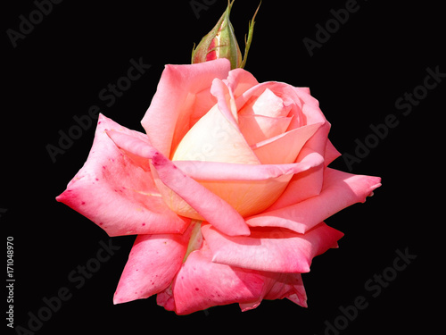 Rose black background isolated flower red pink nature beauty rose black background isolated flower red pink nature mightylinksfo