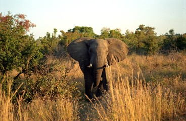 African elephant, Kruger National Park, South African Republic