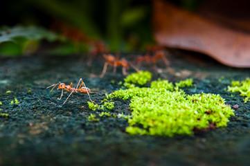 Red Ant on dark background, Thailand