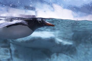 Penguins swim in aquariums.Penguin floating underwater