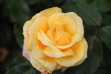 Rose type Sunny Sky in Rosarium Boskoop, Netherlands