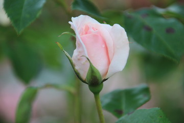 Rose type A Whiter Shade of Pale in Rosarium, Boskoop, The Netherlands